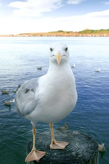 Sea Gull Looking Straight Royalty Free Stock Image
