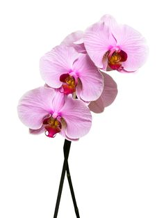 Free Pink Orchid On White Stock Image - 8103491