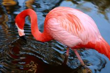 Free Vibrant Pink Flamingo Drinking Royalty Free Stock Image - 8103616