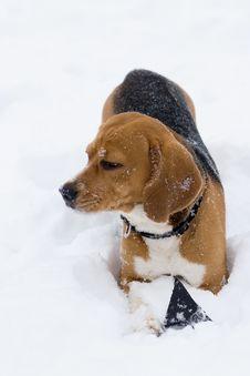 Free Beagle Stock Image - 8103661