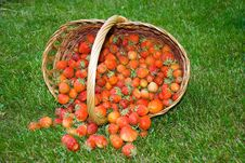Free Just Picked Strawberrys In Wooden Basket Stock Photography - 8103702