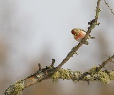 Free Common Redpoll On Branch Royalty Free Stock Photo - 8105255