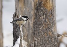 Free Black Capped Chickadee Perched Stock Photos - 8105263