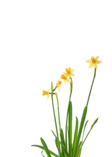 Free Daffodil Royalty Free Stock Image - 8107016