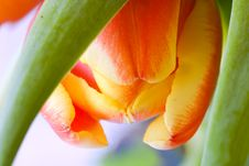 Free Tulip Close-up Royalty Free Stock Image - 8107886