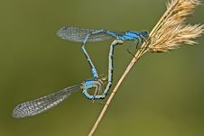 Free Damesflies Mating Royalty Free Stock Photography - 8108467