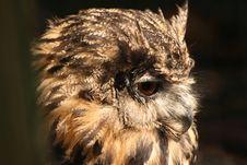 Free European Eagle Owl Stock Images - 8108924