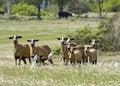 Free Sheep Royalty Free Stock Photo - 8111765