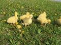 Free Ducklings Stock Photos - 8112563