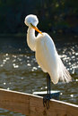 Free Great White Egret Stock Photography - 8114582