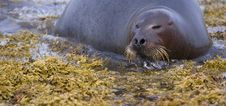 Resting Seal Stock Photography