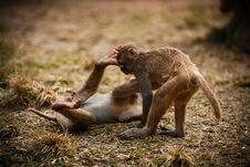 Free Monkey Fighting Stock Photography - 8110472