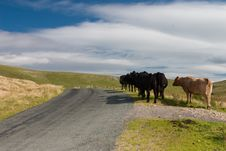 Free Cows Stock Image - 8110901