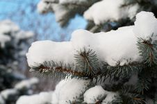 Fir-tree Branch Royalty Free Stock Image