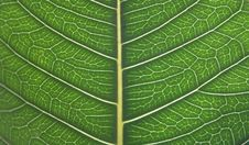 Free Detailed Leaf Structure Stock Photos - 8111533