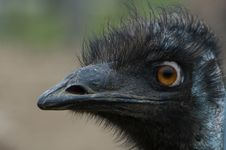 Free Emu Royalty Free Stock Photo - 8112045