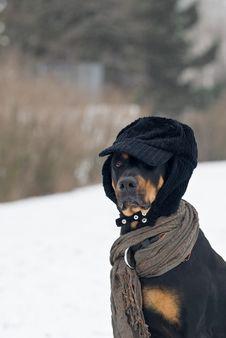 Free Fashion Dog Royalty Free Stock Images - 8112979