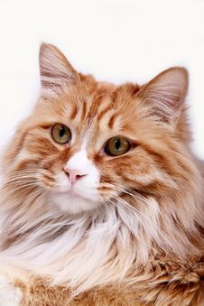 Free Yellow Cat. Stock Images - 8113014