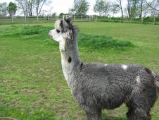 Free Grey Alpaca In The Wind Royalty Free Stock Image - 8113216
