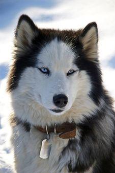 Blue-eyed Husky Stock Image