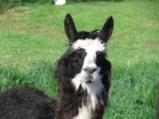 Free Black And White Alpaca Royalty Free Stock Images - 8113309