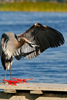 Free Great Blue Heron Royalty Free Stock Photos - 8114498