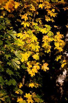 Free Autumn Leaves Stock Photos - 8114693