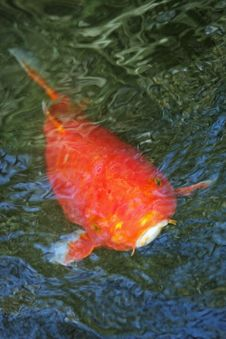 Free Abstract Goldfish Royalty Free Stock Photos - 8115498