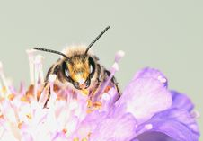 Free The Large Bee Royalty Free Stock Images - 8115849
