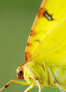 The Butterfly With Yellow Wings Royalty Free Stock Images