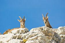 Free Alps Ibex Stock Photos - 8116503