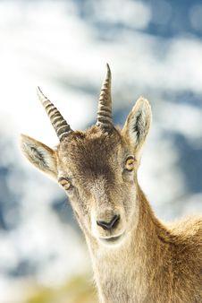 Free Alps Ibex Royalty Free Stock Photo - 8116515