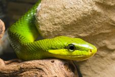 Free Red Tailed Racer Stock Photo - 8116970