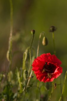 Free Red Poppy Flowers Royalty Free Stock Photography - 8117027