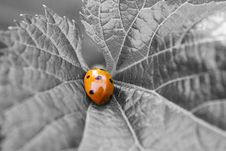 Free Ladybug On A Leaf Stock Photography - 8117562