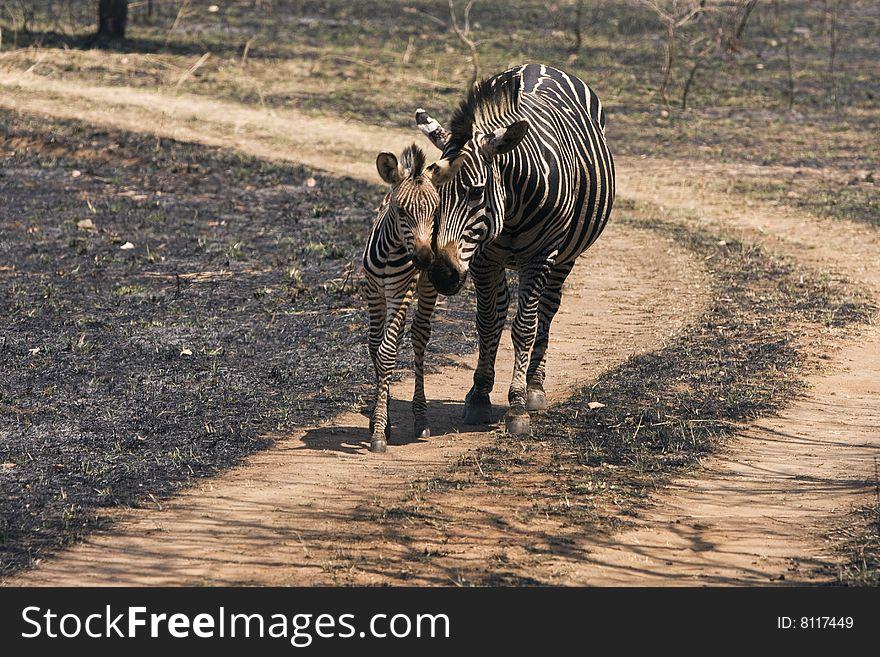 Ywo Zebras
