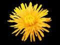 Free Dandelion Flower Stock Image - 8120431