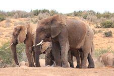 Free Two Bull Elephants Royalty Free Stock Image - 8120326