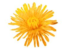 Free Dandelion Flower Stock Images - 8120344