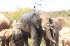 Free Muddy Elephants Stock Photo - 8120430