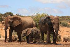 Free Three Muddy Elephants Royalty Free Stock Photos - 8120998