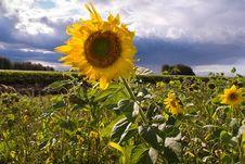 Free Bright Yellow Sunflowers Stock Image - 8121031