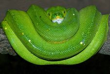 Green Tree Python Royalty Free Stock Photography