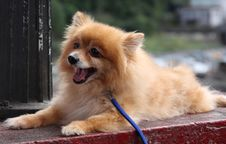 Free Pomeranian Puppy Royalty Free Stock Images - 8121809
