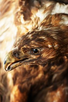 Free Eagle Royalty Free Stock Images - 8123239