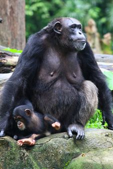 A Female Chimpanzee And Her Kid Royalty Free Stock Images
