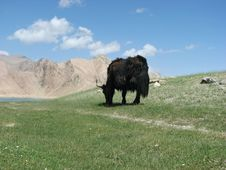 Free Yak On The Grass Stock Photos - 8126383