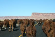 Cows On The Road Royalty Free Stock Photos