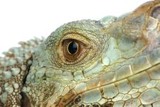 Free Iguana Head Royalty Free Stock Photos - 8127148
