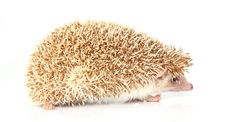 Free Hedgehog Stock Image - 8127231